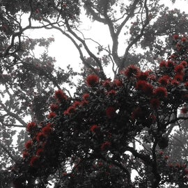 Native Ohia tree, Big Island is know for these beautiful trees that are the first plant to grow after the lava has spread.