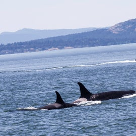Orca whales, seen on San Juan Island, WA. Photo by me, Amanda McConnell with Canon 5D Mark ii
