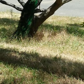 Peacock at our site.